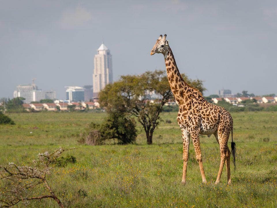 Giraffe,In,Nairobi,City,The,Capital,Of,Kenya.,Nairobi,National