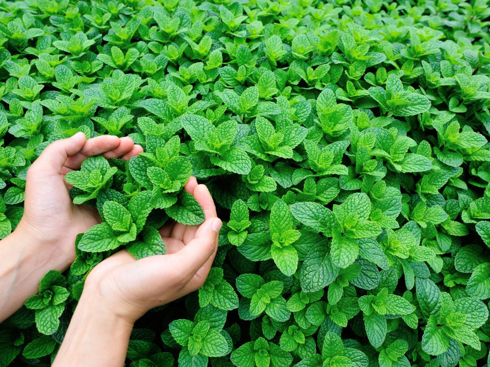 Mint,Plant,Grow,At,Vegetable,Garden