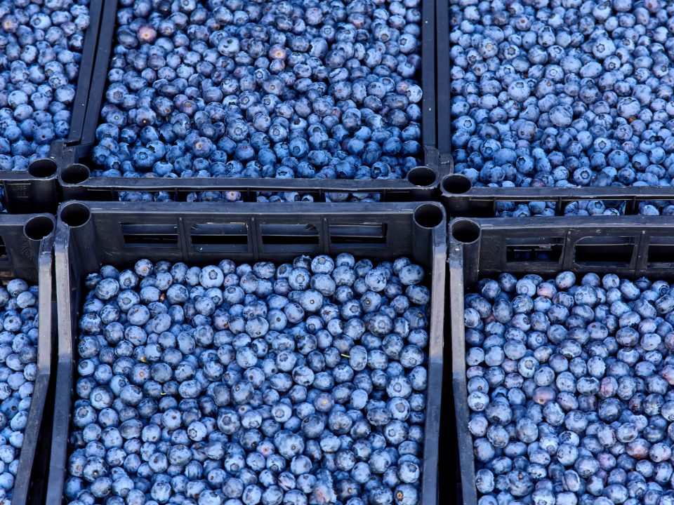 Fresh,Blueberry,Boxes,Sold,In,The,Market